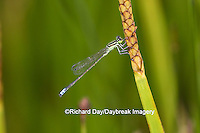 06329-00204 Eastern Forktail Damselfly (Ischnura verticalis) male in wetland, Marion Co., IL