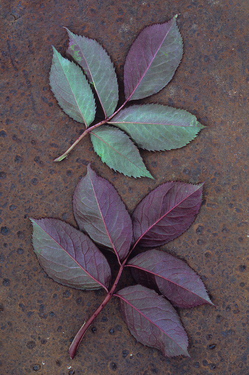 Leaves of fresh spring Rose or Rosa with green and violet markings lying  face down on rusty metal sheet