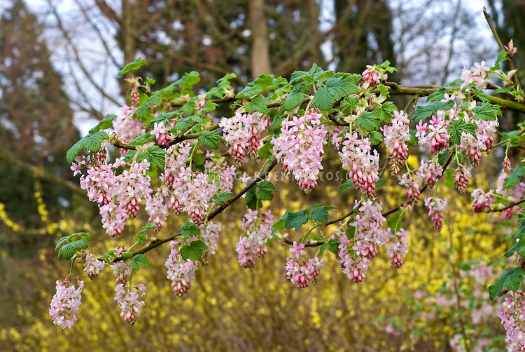 Flowering currant tydemans white plant flower stock photography ribes sanguineum tydemans white ornamental flowering currants in bloom showing branches of mightylinksfo