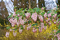 Ribes sanguineum 'Tydeman's White', ornamental flowering currants in bloom, showing branches of shrub with many pink tinged flowers