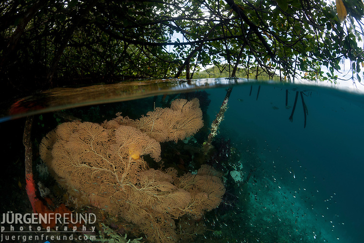 Gorgonian fan coral in the shallow mangrove area split level. North Raja Ampat, West Papua, Indonesia