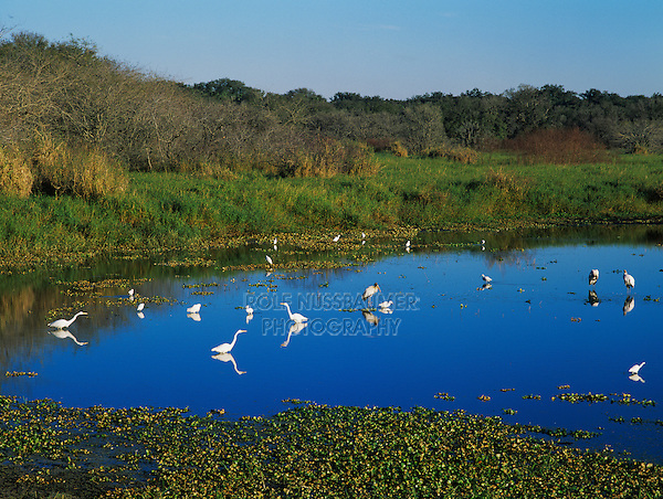 Pond with feeding Wading birds, Myakka River State Park, Florida, USA