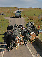 Ardnamurchan Estate's Galloway cross suckler cows with their calves being moved to fresh grazing near Kilchoan, Ardnamurchan, Argyll.