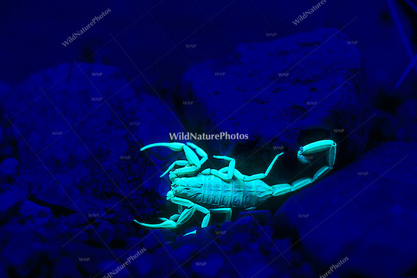 Bark Scorpion (Centruroides exilicauda) fluorescing under UV light at night (Arizona)