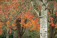 Birch and Sugar Maple in Autumn