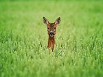 """HOW LOVELY TO SEE YOU DEER..... A roe deer peers out from a field of wheat.<br /> <br /> The doe was in a field near Boultham Mere, in Lincoln off a little lane that runs along side a small river on the outskirts of Lincoln.  It was spotted by NHS technician, Andrew Scott, 45, from North Hykeham, Lincolnshire.<br /> <br /> Andrew said, """"It was wandering through the wheat field, nibbling at corn heads and I crept up on it to get as close as I could.  I must have made around 50 yards before it saw or heard me. It was only when it heard me that it fully pricked its head up to look straight at me and a few seconds later it had turned and run off."""" <br /> <br /> Please byline: Andrew Scott/Solent News<br /> <br /> © Andrew Scott/Solent News & Photo Agency<br /> UK +44 (0) 2380 458800"""