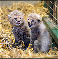 BNPS.co.uk (01202 558833)<br /> Pic: Longleat/BNPS<br /> <br /> Winston and Poppy before they were allowed out in the open.<br /> <br /> A rare pair of cheetah cubs have ventured outside for the first time at Longleat Safari Park.