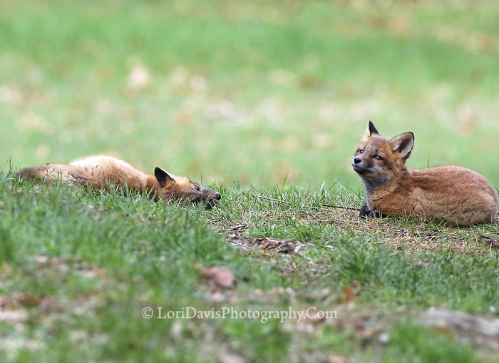 Resting red fox pups