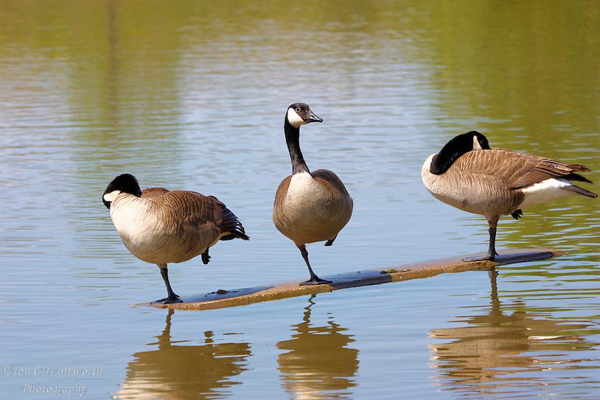 Canada geese practice ballet at an Oakville Ontario pond