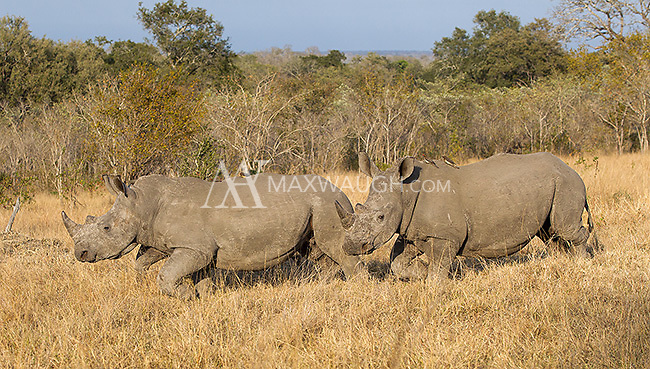 White rhinos are under severe threat from poaching, so it was a treat to see so many during our trip.
