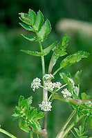 FOOL'S WATERCRESS Apium nodiflorum (Apiaceae) Height to 20cm. Creeping perennial whose leaves bear a passing resemblance to Watercress. Could also be confused with Lesser Water Parsnip. Roots at nodes of lower stems; upright stems are hollow. Found in ditches and wet hollows. FLOWERS are white; borne in open umbels (Jul-Aug). FRUITS are egg-shaped and ridged. LEAVES are shiny and pinnate with oval, toothed leaflets STATUS-Widespread and locally common.