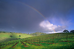Rainbow and clearing storm in spring over vineyard along Conn Valley Road, Napa County, California