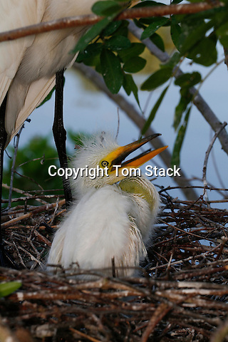 Great Egret chick in the nest, Florida