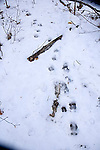 Tracks of whitetailed deer in snow,