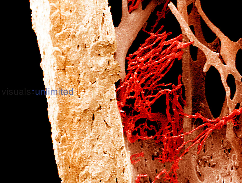 Compact bone and spongy or cancellous bone of the femur along with visible blood vessels.  SEM X105  **On Page Credit Required**