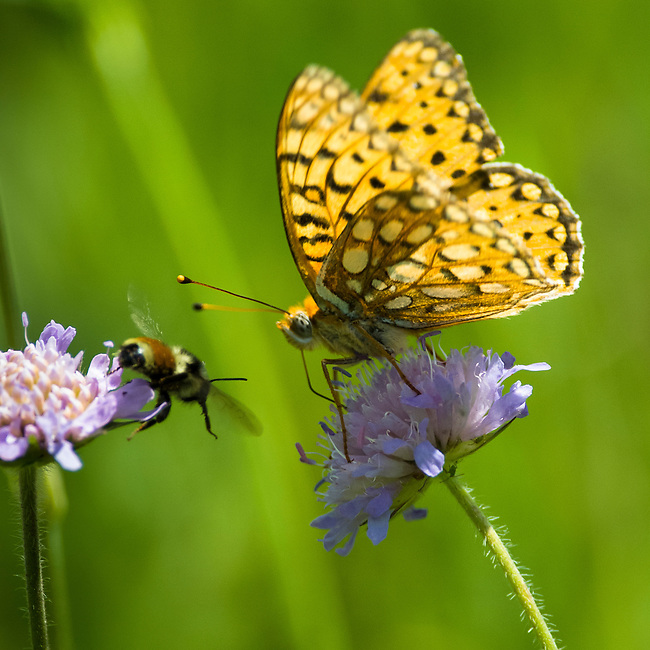 butterfly, Edward's Fritillary, Speyeria edwardsii, bee, pincushion flower, Arvensis scabiosis, nature, foliage, insect, Cow Creek watershed, Rocky Mountain National Park, summer, Rocky Mountains, Colorado, USA