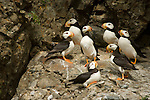 A group of horned puffins perch on the cliffs at Duck Island in Lake Clark National Park, Alaska.