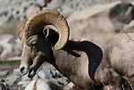 ram, desert bighorn sheep