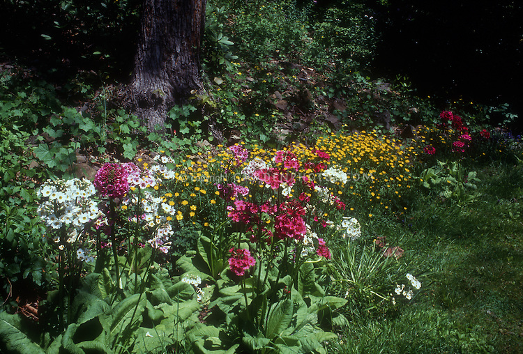 Primula japonica with Chrysogonum virginiana at shaded woodland garden edge