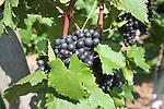 Bunch of Rondo red wine grapes on vines, Shawsgate vineyard, Suffolk, England