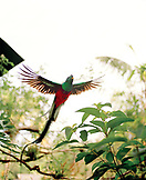 MEXICO, Tapachula, Quetzal in flight, Finca Irlanda