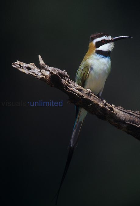 White-throated Bee-Eater ,Merops albicollis,, Kenya.