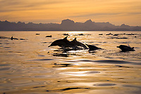 Common dolphins (delphinus delphis) Gulf of California.Common dolphin in a silky sea at sunset., Baja California, Mexico, Pacific Ocean