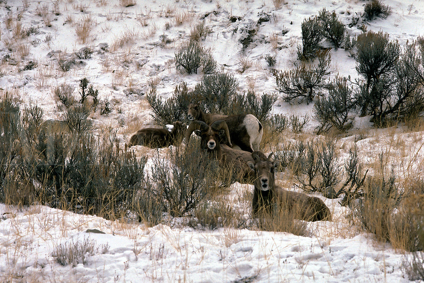 Bighorn sheep, snow, Yellowstone National park, rams, harem, ewes. Wyoming, Yellowstone National Park.