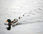 A Mallard Duck makes waves. Smoky Mountain photos by Gordon and Jan Brugman.