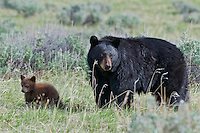"Wild Black Bear (Ursus americanus) mother with cub (cub is a cinnamon color phase which is quite common).  Western U.S., spring. (These are what are known as ""coys""--cubs of the year.)"