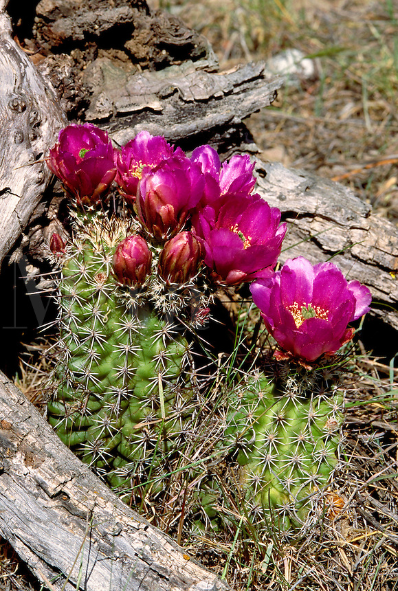 Hedgehog Cactus, Echinocereus. desert vegitation, flowering plants, cacti. Hedgehog Cactus.