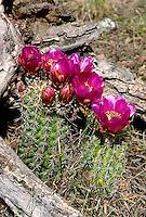 Hedgehog Cactus, Echinocereus. desert vegitation, flowering plants, cacti. Hedgehog Cactus.
