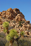 joshua tree and rock formations