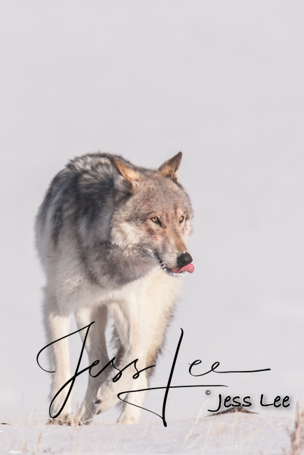 winter wolf licking its nose