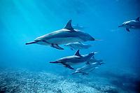 Hawaiian spinner dolphins, Stenella longirostris, Midway Atoll, Papahanaumokuakea Marine National Monumen, Northwestern Hawaiian Islands, Pacific Ocean