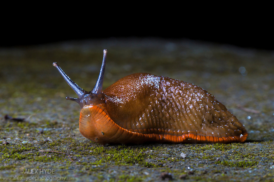 Red Slug {Arion rufus} in garden at night. Derbyshire, UK. August.