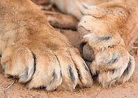Lion Paws  Kenya 2016