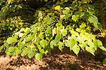 National arboretum, Westonbirt arboretum, Gloucestershire, England, UK leaves of Tilia Japonica lime tree