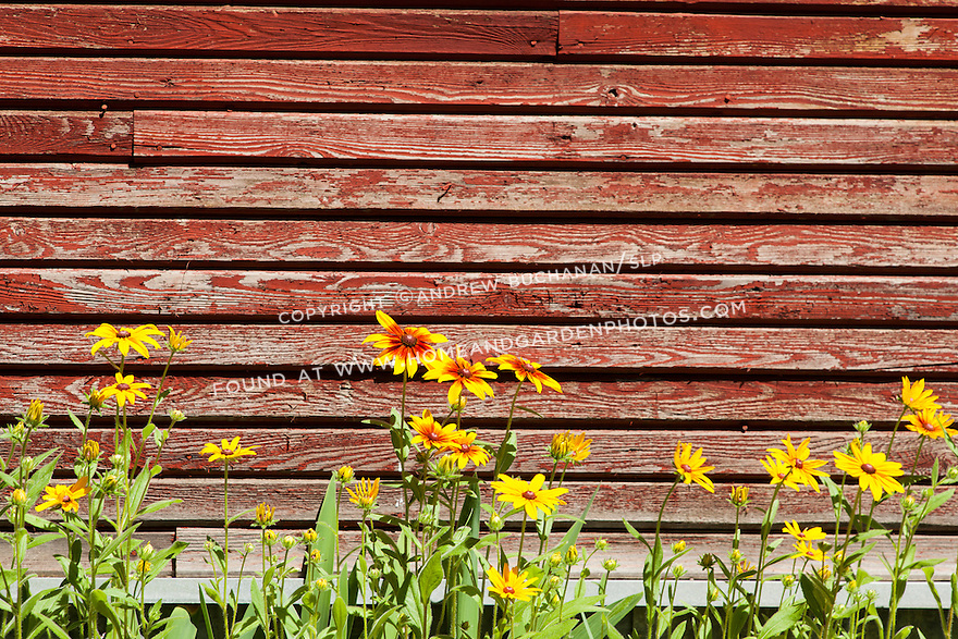 Bright, cheerful rudbeckia provide an eye-catching pop of color against a weathered, red barn.