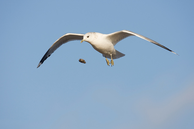 Common Gull - Larus canus - dropping mussel