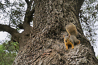 Eastern Fox Squirrel (Sciurus niger), adult on Live Oak (Quercus virginiana), Dinero, Lake Corpus Christi, South Texas, USA