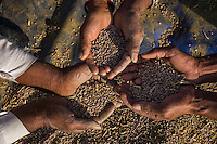 Guar farmers Pemaram Jangu, 70, his wife Jhuma Jangu, 65, and their son, Jagdish Jangu, 38, sift through their crop after threshing it in their field in Hameira village, Bikaner, Rajasthan, India. Non-Profit Organisation Technoserve works with Guar farmers in Bikaner to provide technical farming knowledge to them, improving their crop yield through good agricultural practices. Photograph by Suzanne Lee for Technoserve