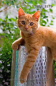 Carl, ANIMALS, photos(SWLA2279,#A#) Katzen, gatos