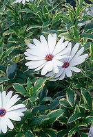 Osteospermum Silver Sparkler white flowers with variegated foliage leaves, annual garden plant