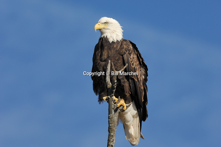 00370-014.06 Bald Eagle (DIGITAL) adult is perched on dead tree against blue sky.  Bird of prey, raptor, predator, bird, birding.  H4F1