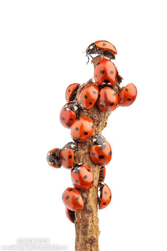 Seven-spot ladybirds (Coccinella 7-punctata) warming up after winter hibernation. Photographed against a white background. Nottinghamshire, UK. March.