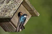Tree swallow - male