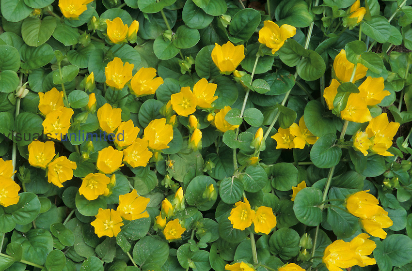 Moneywort (Lysimachia nummularia), a brightly colored ground cover.