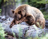 I followed this cinnamon colored black bear from just outside my house near Lake Tahoe as he (?) foraged for insects by tearing apart downed trees.  Fascinating - so much work for such small bites!