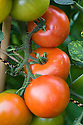 Tomato 'Alicante', early September.